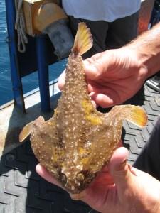 Polka Dot Batfish