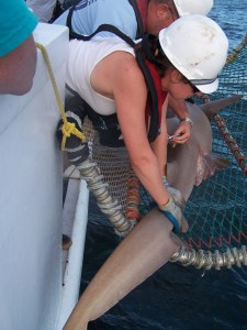 Getting a fin clip from the Nurse Shark for DNA studies