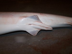 Male Sharpnose Shark