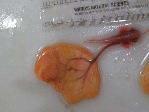 three month old embryo collected from the uterus of a female Atlantic sharpnose shark
