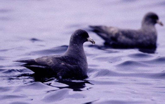 Northern Fulmar (Fulmarus glacialis): Gull-sized seabird; rapid wingbeats alternating with gliding over waves; color is rather uniform with not strong contrasts; gray overall with whitish undersides; range: Northern Pacific Ocean and Northern Atlantic Ocean; Breeds: Aleutian Islands, Alaska.