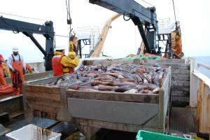 Hake are unloaded into holding containers, soon to be weighed and measured