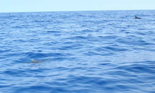 The Whitetip is in the lower left hand corner with a Pilot Whale in the upper right
