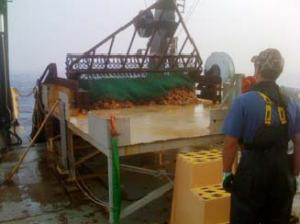 Dumping a dredge on the sorting table.