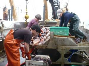 Working together to sort the squid from the hake.