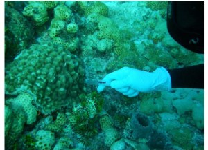 Morrow collecting coral mucus. Photo courtesy of Mike Henley.