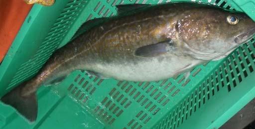 Pacific cod (Gadus macrocephalus)