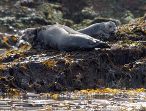 A female harbor seal and her pup haul out on a rocky reef covered in kelp during low tide.  This photo was captured by Dave Withrow (Chief Scientist) during a study of harbor seals and pupping phenology in southeastern Alaska.