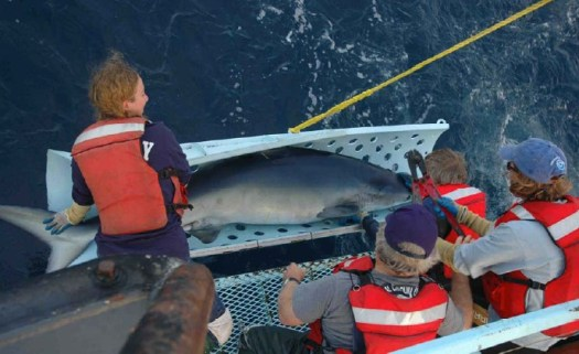 A big Blue Shark.  Graduate student Heather Marshall holds the tail while Dr. Jeff Graham helps Dr. Suzi Kohin with the bolt cutters as Dr. Russ Vetter retains the head.