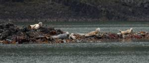 The question is, who is watching whom? Seals are mammals and so have hair covering their bodies. The underbelly of the seals pictured appears still wet, but their backs have dried in the sun and so appear more fur like