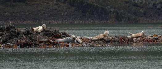 Harbor seals near Kake.