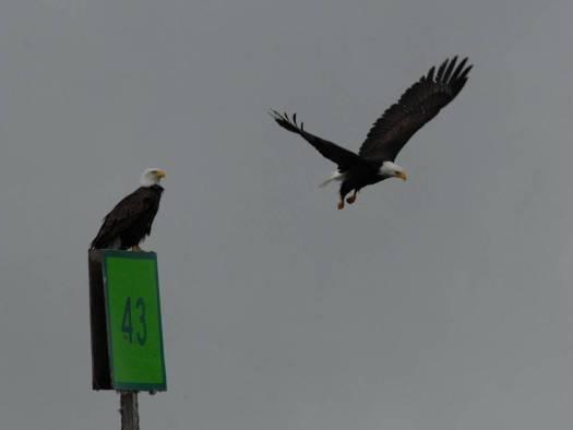 The bald eagle, majestic and beautiful!