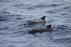 Rough-toothed_Dolphins