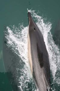 Common Dolphins Bow-riding off the DELAWARE II: Note the crisp crisscross markings on the dolphins' side.
