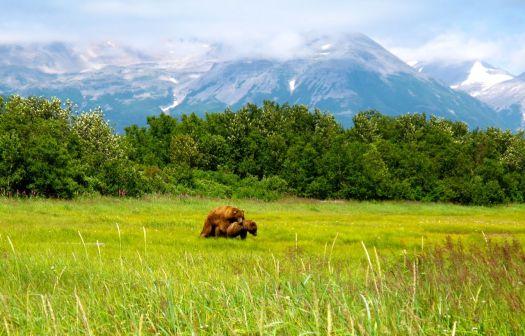 Brown bears mating
