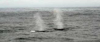 Seven to Eight fin whales sighted off the port bow, close enough to hear and see.