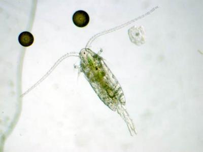 Enter the copepods.