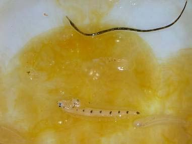 Egg yolk jelly with pipefish and larval rex sole