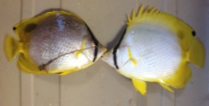 a pair of butterfly fish (every time we have caught them they have come in a pair)