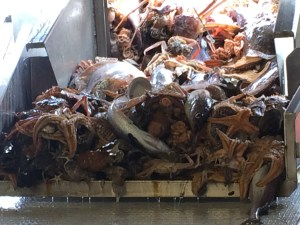 Fresh catch proceeding down the conveyor belt. Time to sort.