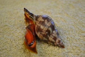 A tulip snail wandered into one of our traps.