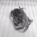 Atlantic Rock Crab (Cancer irroratus)