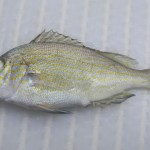 Pigfish (Orthopristis chrysoptera)