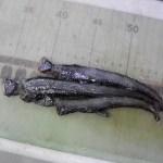 Viperfish (Chauliodus sloani)