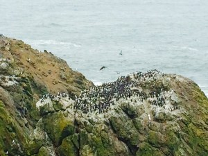 Common murres return to their nesting sites once the eagles are out of sight.