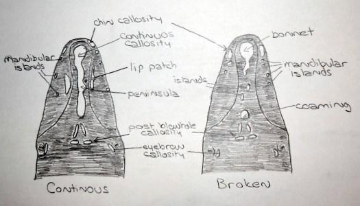 Sketch of callosities pattern