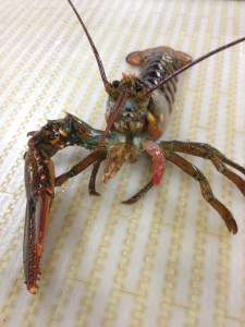 This lobster lost a claw and is in the early stages of regenerating it.  What challenges do you think a single-clawed lobster might face?