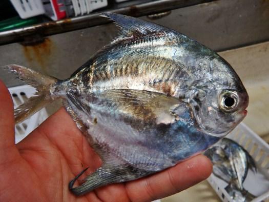 American Harvest Fish (Peprilus alepidotus)