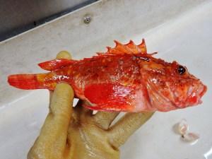 Barbfish (Scorpaena brasiliensis)