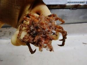 Furcate Spider Crab (Stenocionops furcata coelata)