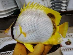 Spotfin Butterflyfish (Chaetodon ocellatus)