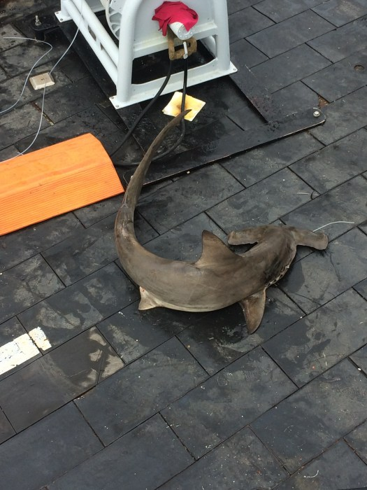 Scalloped Hammerhead on deck. Photo: Erica Nuss