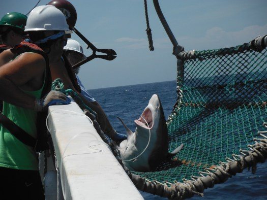 Hook removal required bolt cutters after I tagged this Sandbar Shark.