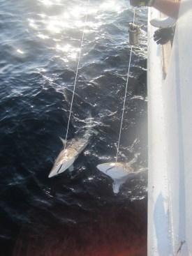 Two sandbar sharks on the line.