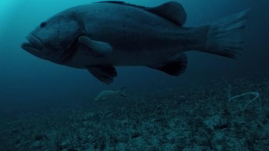 warsaw grouper