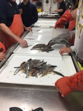 Starting the sort - check out those adult anchovies!