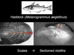 Diagram of a haddock otolith