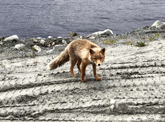 Fox in Dutch Harbor