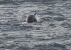 Dolphins appear around large catches for some pickings from the net.