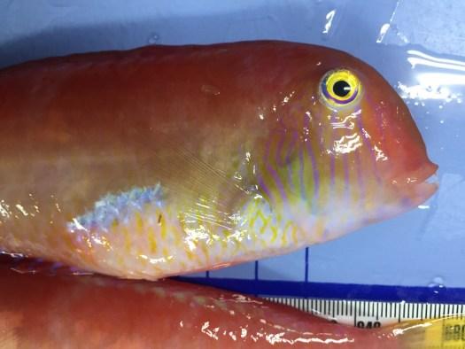 Razorfish, Xyrichtys novacula