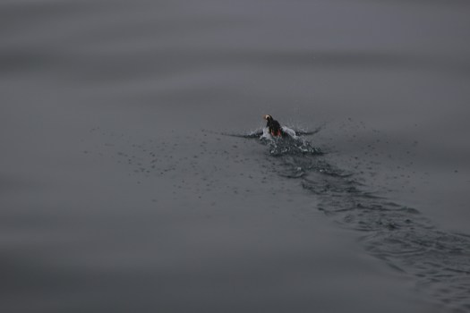 tufted puffin take off