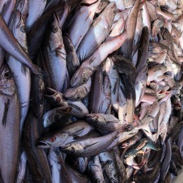 A large catch of hake