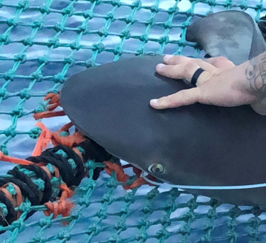 The snout and eye of a sandbar shark being secured on a netted shark cradle.