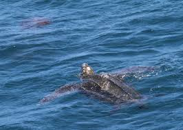 leatherback noaa