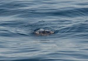 leatherback sea turtle A. Black