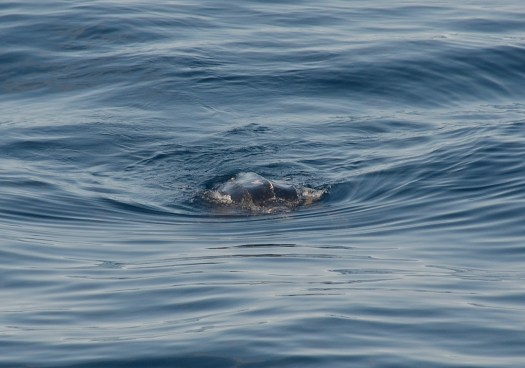 leatherback sea turtle A. Black